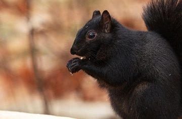 Squirrels Produce Squirrels (just Some Have Black Fur)