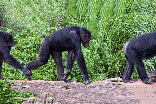 Do Chimps In A Conga Line